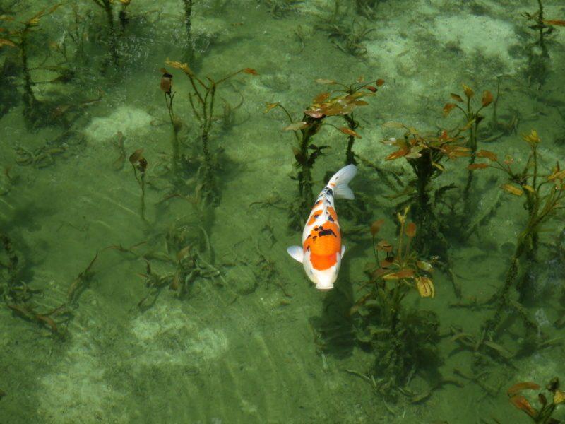 PowerShot S120で撮影したモネの池の鯉