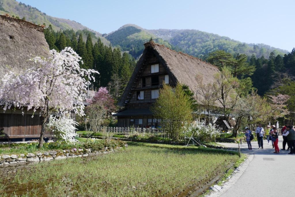 白川郷 合掌造りの家と桜